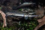 Longnose Gar hiding in submerged vegetation full body view