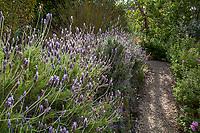 Lavandula dentata, French Lavender, Fringed Lavender flowering in Blake Garden