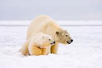 polar bear, Ursus maritimus, mother with cub on the pack ice, 1002 coastal plain of the Arctic National Wildlife Refuge, Alaska, polar bear, Ursus maritimus