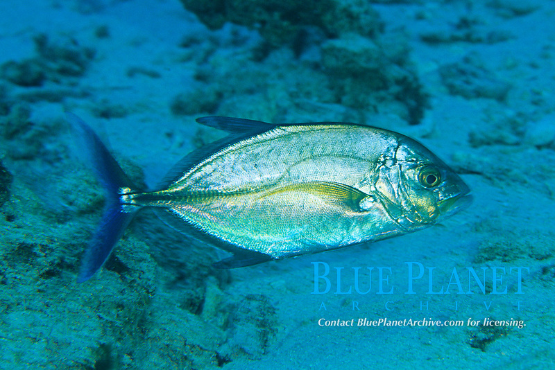 blue jack or bluefin trevally, Caranx melampygus, Amami-ohsima island, Kagoshima, Japan, Pacific Ocean