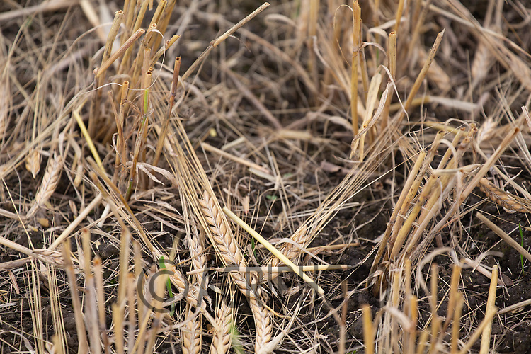 4.9.2020 Spring barley losses due to storms <br /> ©Tim Scrivener Photographer 07850 303986<br />      ....Covering Agriculture In The UK.