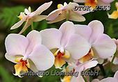 Gisela, FLOWERS, BLUMEN, FLORES, photos+++++,DTGK2553,#f#, EVERYDAY ,orchids