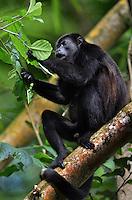 Mantled Howler Monkey (Alouatta Palliata) Spanish name: Congo