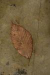 Beech leaf on stone