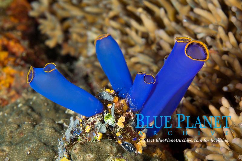 ascidians, Rhopalaea sp. , Kasai Point, Moalboal, Cebu Island, Central Visayas, Philippines, Pacific Ocean