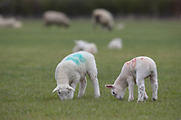 10-4-2021 Spring lambs<br /> ©Tim Scrivener Photographer 07850 303986<br />      ....Covering Agriculture In The UK....