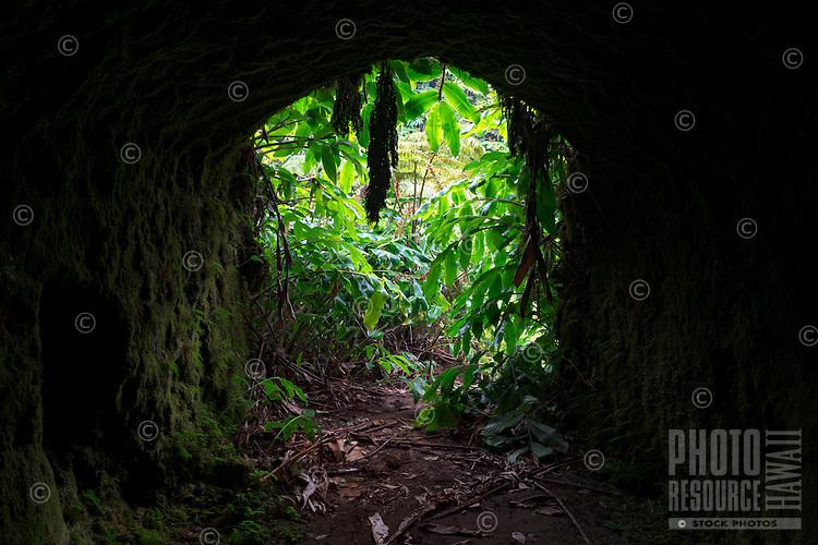 A tunnel along a Kohala Forest Reserve trail in Waipi'o Valley, Hawai'i Island.