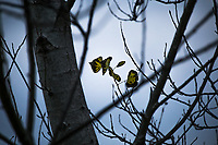 Five tenacious leaves, yellowed and dead, cling to the otherwise winter-bare branches of a tree at the Martin  Luther King Jr. Regional Shoreline, Oakland, California.