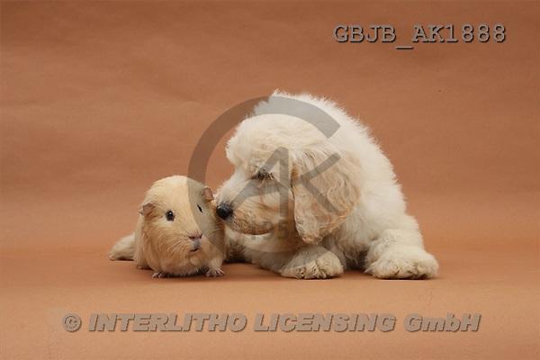 Kim, ANIMALS, fondless, photos(GBJBAK1888,#A#) Hunde, perros
