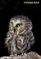 OW02-316z  Saw-whet owl - Aegolius acadicus