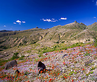 Common Red Paintbrush (Castilleja miniata) and Broadleaf Lupine (Lupinus latifolius) Dot the Landscape at Mt. St. Helens National Volcanic Monument, Washington, US