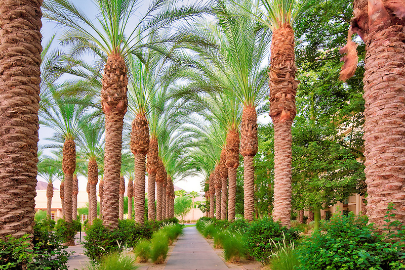 Palm tree lined path. Hyatt. Indian Wells, California