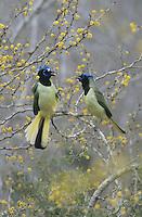 Green Jay, Cyanocorax yncas,adults fighting on blooming Huisache (Acacia farnesiana), Starr County, Rio Grande Valley, Texas, USA