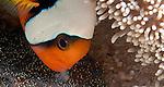 Anemonefish aerating eggs