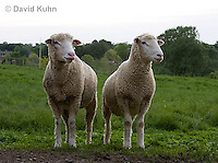 0512-0905  Pair of Sheep, Dorset Ewes, Ovis aries  © David Kuhn/Dwight Kuhn Photography