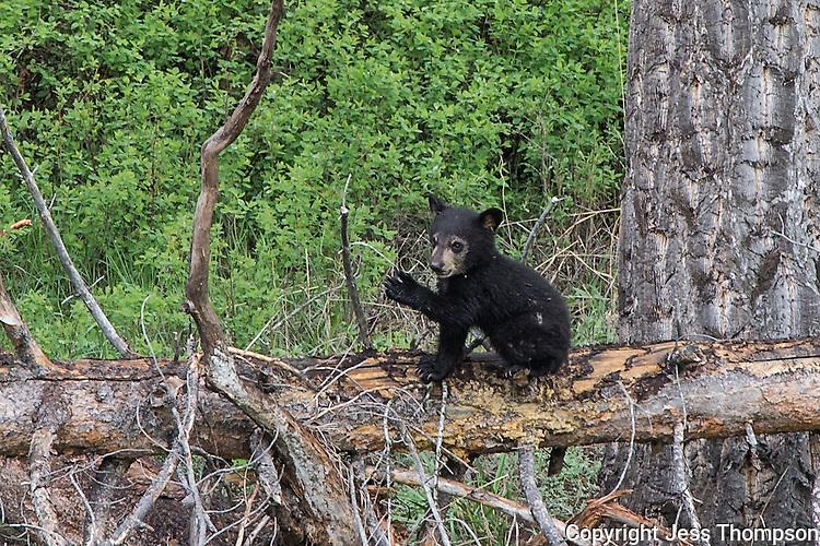 Black Bear, Yellowstone National Park