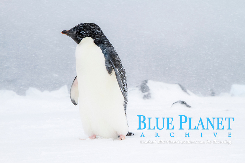 Adelie penguin, Pygoscelis adeliae, in snowstorm at Brown Bluff on the Antarctic Peninsula in the Weddell Sea, Antarctica, Southern Ocean