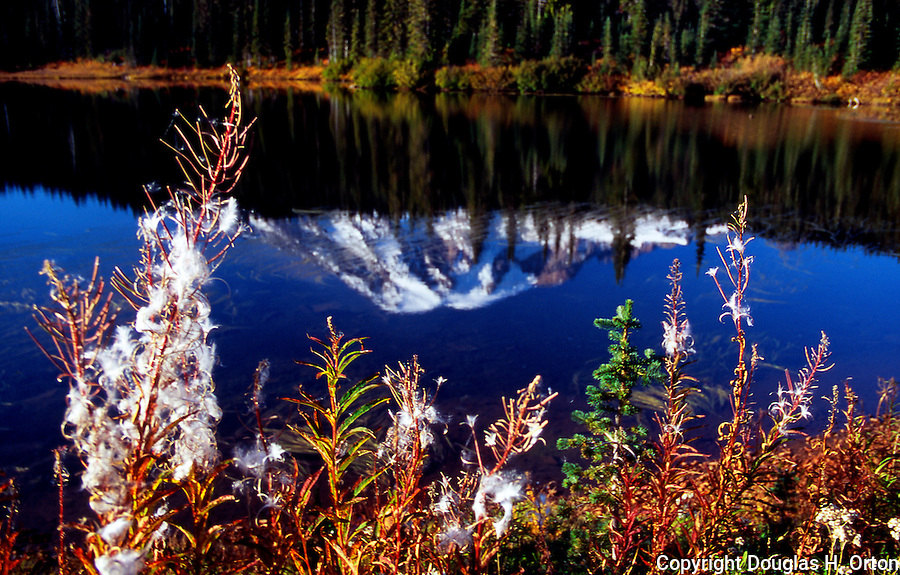 Mt. Rainier seen upside down in Reflection Lake over the top of Fireweed going to fluffly seed.