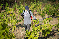 Weinstoecke auf Sizilien werden mit biologischem Mittel (Kupfer) gegen Mehltau behandelt.<br /> 30.7.2020, Petralia Sottana<br /> Copyright: Christian-Ditsch.de