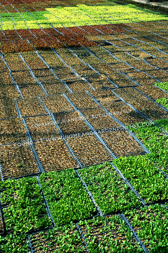 Hundreds of starts of lettuce fill a commercial greenhouse.