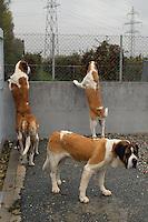 - Switzerland, breeding of S.Bernardo dogs in Martigny ....- Svizzera, allevamento dei cani S.Bernardo a Martigny