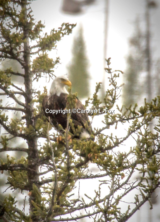 A bald eagle sits in a tree in Yellowstone.