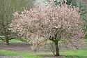 Ornamental cherry (Prunus 'Pandora') in flower, early April.