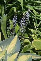 Hosta June in June with Salvia nemerosa 'Crystal Blue' in bloom