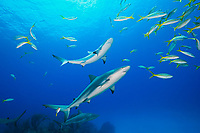 Caribbean Reef Sharks, Carcharhinus perezii, and Yellowtail Snappers, Ocyurus chrysurus, over coral reef, West End, Grand Bahamas, Atlantic Ocean