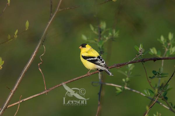 Male American Goldfinch (Carduelis tristis).  Eastern U.S., Spring.