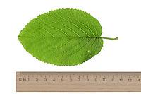 Wolliger Schneeball, Schnee-Ball, Viburnum lantana, Wayfaring Tree, Mansienne, Viorne lantane. Blatt, Blätter, leaf, leaves