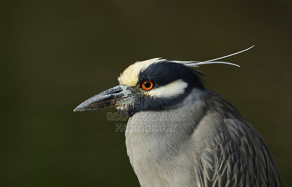 Yellow-crowned Night-Heron (Nyctanassa violacea), adult, Hill Country, Central Texas, USA