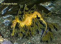 TP10-518z  Leafy Sea Dragon, Phycodurus equus or Phycodurus eques
