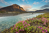 Midnight sunset over dwarf fireweed, or river beauty, along the Marsh Fork of the Canning River in the Arctic National Wildlife Refuge in the Brooks Range mountains, Alaska.