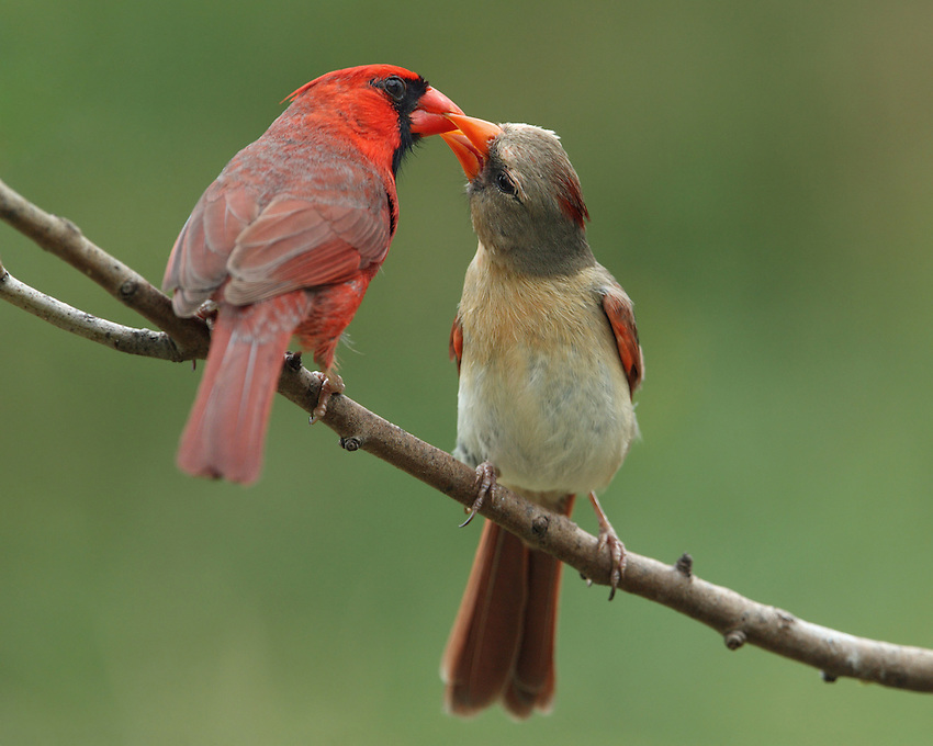 The male Northern Cardinal offers food to its mate during courtship, in this typical bonding behavior..<br /> If the mating is successful, the mate-feeding continues through the incubation period. Published National Wildlife Magazine April/March issue 2012.