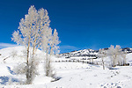 Hoarfrost on Cottonwood Trees, Lamar Valley, Yellowstone NP, WY
