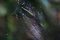 Spider and Web Jungle Phnom Kulen, Cambodia