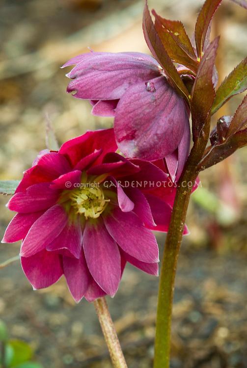Helleborus Double Red hellebore flowers