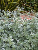 Artemisia 'Powis Castle' silver gray foliage aromatic perennial in garden