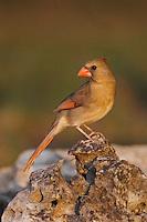 Northern Cardinal, Cardinalis cardinalis, female, Uvalde County, Hill Country, Texas, USA, April 2006