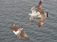Yellow Legged Gulls, adult and juvenile (Larus michahellis)  in flight.....Copyright..John Eveson,.Dinkling Green Farm,.Whitewell,.Clitheroe,.Lancashire..BB7 3BN.Tel. 01995 61280.Mobile 07973 482705.j.r.eveson@btinternet.com.www.johneveson.com