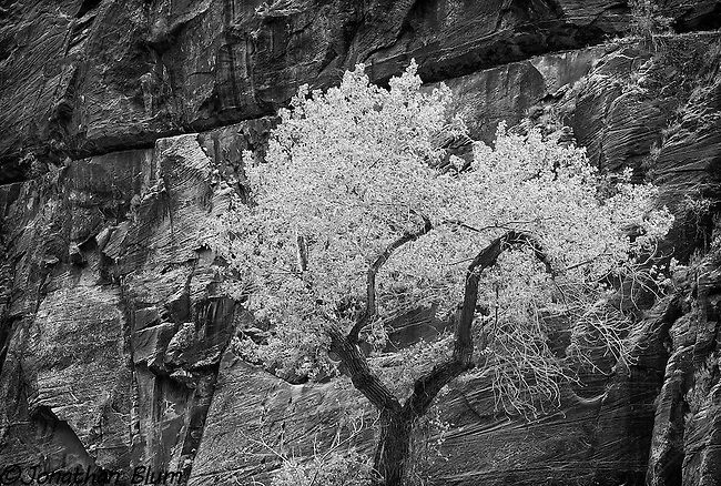 Cottonwood in Canyon, Zion National Park