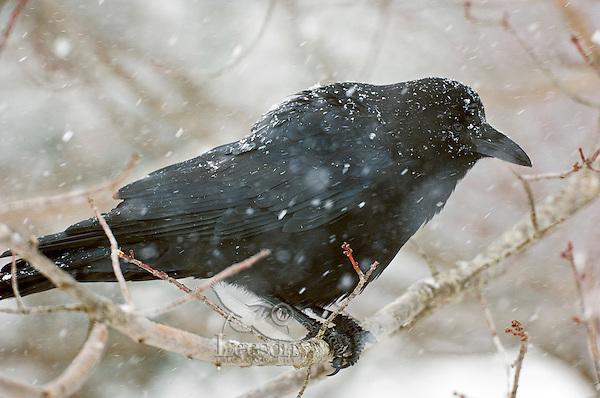 Common Crow (Corvus brachyrhynchos) in winter snowfall. Nova Scotia, Canada.