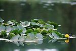 Water lily blossom, Alaska