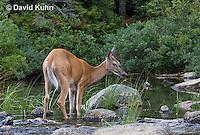 0623-1006  Northern (Woodland) White-tailed Deer, Odocoileus virginianus borealis  © David Kuhn/Dwight Kuhn Photography