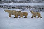 Three polar bear cubs follow their mother in Churchill, Manitoba, Canada.