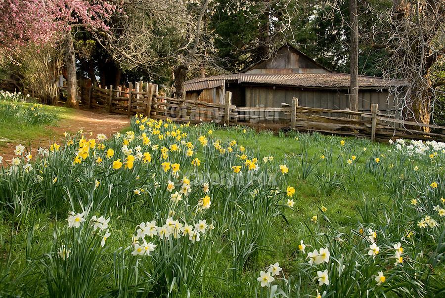 Barn, McLaughlin's Daffodil Hill in bloom, Volcano, Calif.