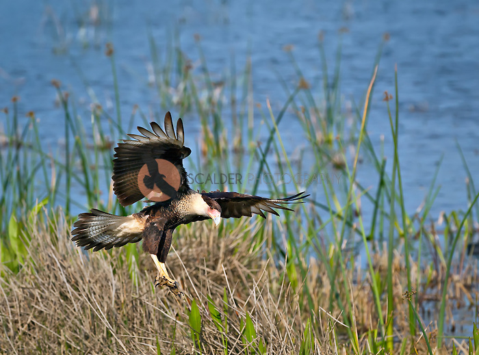 Crested Caracara landing on ground with claws extended