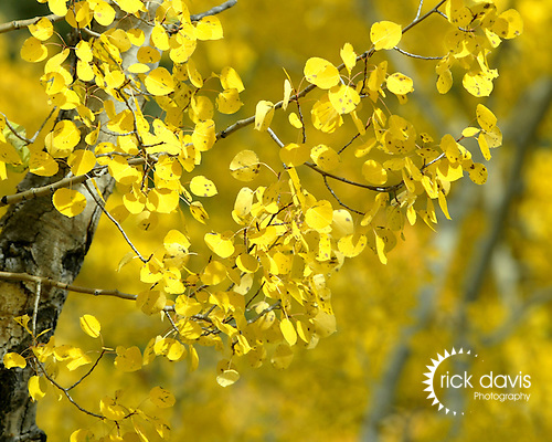Golden leaves of the aspen tree quake in the gentle wind of the Colorado mountains, signaling the upcoming winter.