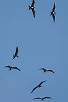 San Benedicto Island, Revillagigedos Islands, Mexico; seven frigatebirds circling overhead in the early morning light